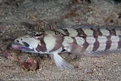 BD-140314-Padre-Burgos-1800-Parapercis-hexophthalma-(Cuvier.-1829)-[Speckled-sandperch].jpg